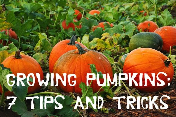Growing Pumpkins: 7 Tips and Tricks ~~ with  homemade pumpkin spice latte recipe! #pumpkinspicelatte