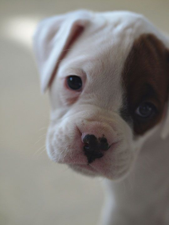 OMGosh I want it!!!!: American Bulldogs, Cute Baby Animald, Cute Puppies, Cute Boxers Puppies, Puppies Dogs Eye, Eye Patches, White Boxers Puppies, Boxers 3, Heart Nose