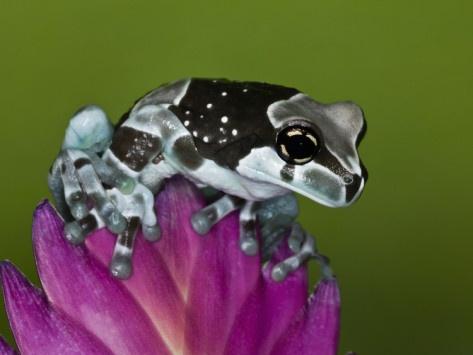 Amazon Milk Frog (Trachycephalus Resinifictrix) .