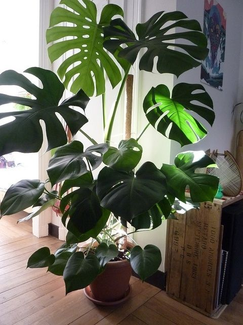 Monstera deliciosa. These type of plants require very little care and they'll do their own thing.