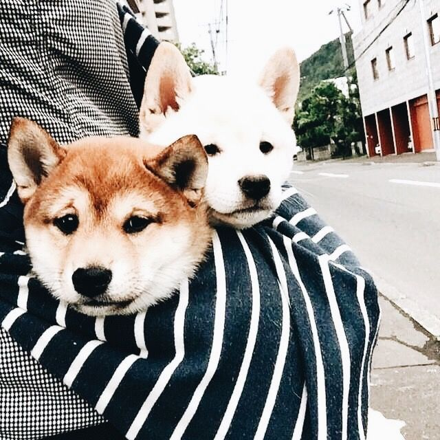Two Shiba Inus are better than one! How adorable are these little Shiba pups?
