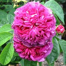 Damasco Rosa Rosa Bush Flor Sementes da herança, 100 Sementes/Saco, Asaka Parque Flor(China (Mainland))