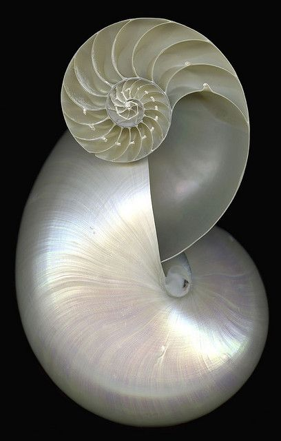Double Nautilus v2 by dbl nautilus on Flickr. ~ You can't improve on perfection of design ~