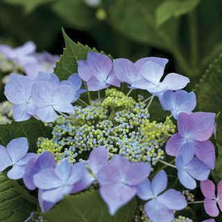 """Starlight Dance Hydrangea-Cultivar name: 'Lynn'. Just 2 to 3 feet high and wide, this container-sized Hydrangea blooms on both old and new wood, giving northern gardeners a lovely season and southern and western gardeners 2 glorious bloomtimes every year. But that's not even the innovation: it's that the blooms aren't the usual mophead, """"summer snowball"""" rounded type. They're the far more unusual """"lacecap"""" variety, with an outer ring of large open florets ..."""