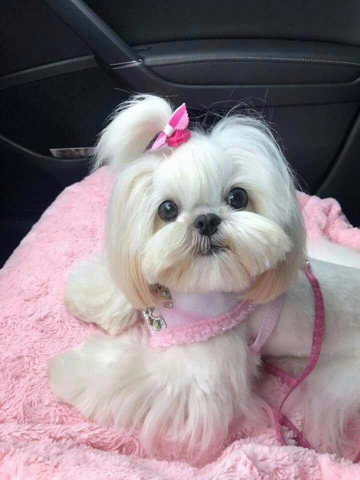 All About Smart Shih Tzu Puppy Size Shihtzuslife Shitzufemea