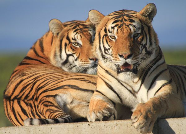 Visit the home to big cats - Jukani Wildlife Sanctuary situated near Plettenberg Bay.
