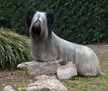 SKYE TERRIER. If I had one of these I think I'd give it bangs.  Just saying. Cute but that hair in the face looks so uncomfortable.