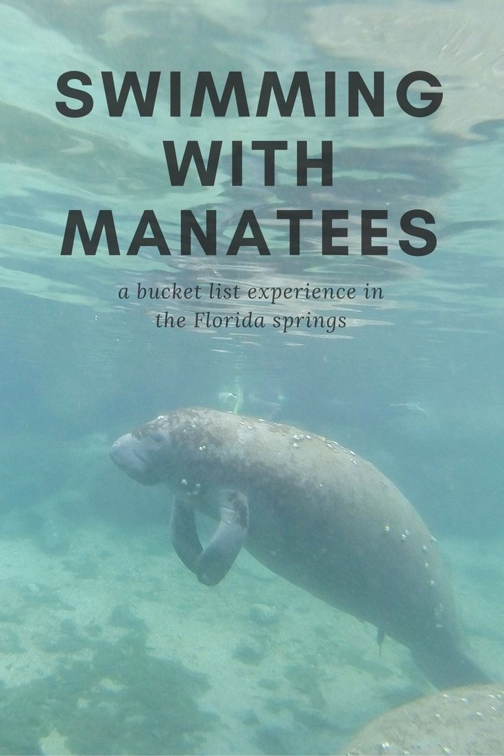 Swim With Manatees In The Florida Springs And Crystal River Swimming With Manatees Florida Springs Florida Travel
