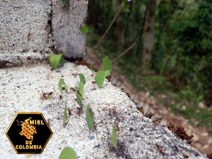 El rol de las diferentes especies de hormigas arrieras en condiciones naturales es estimular el crecimiento de las plantas y enriquecer el suelo; si se exterminan estos insectos se produciría un cambio significativo en la estructura de bosques y pasturas, incluyendo la extinción de algunas especies de plantas y animales.