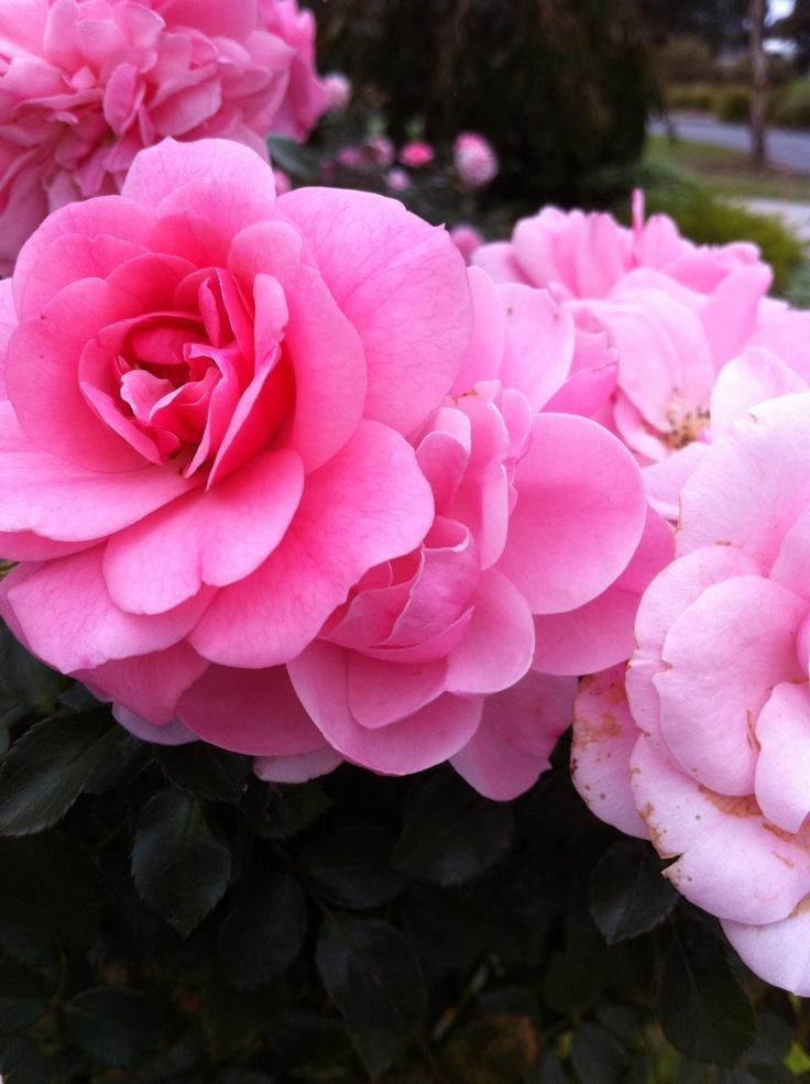 Gorgeous autumn rose
