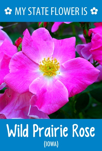 Iowa S State Flower Is The Wild Prairie Rose What Your Http
