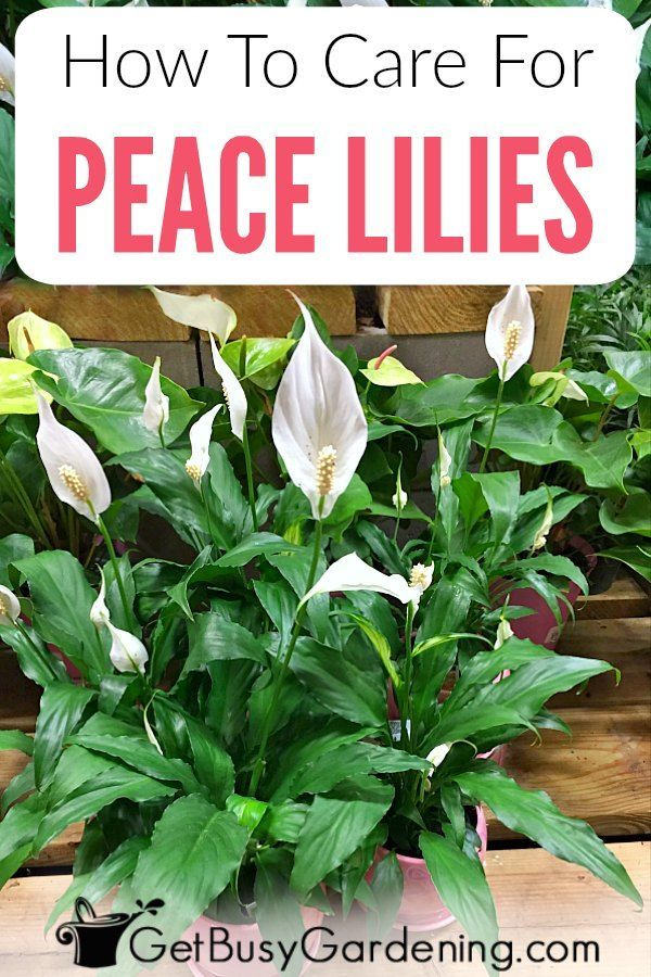 Peace Lily Plant Care Guide How To Grow A Peace Lily Peace Lily