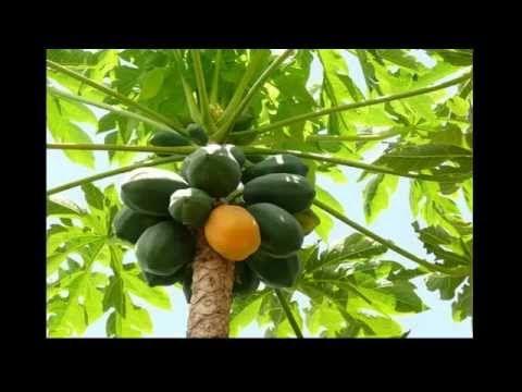 CURAR EL DENGUE CON HOJAS DE PAPAYA - YouTube
