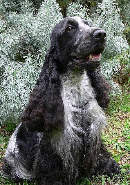 Champion Blue Roan Cocker Spaniel by  © Diana Andersen, via Flickr.com