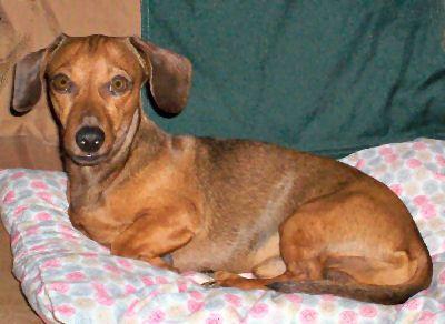 Miniature Dachshund  Miniature Weiner Dog, Doxie's Miniature