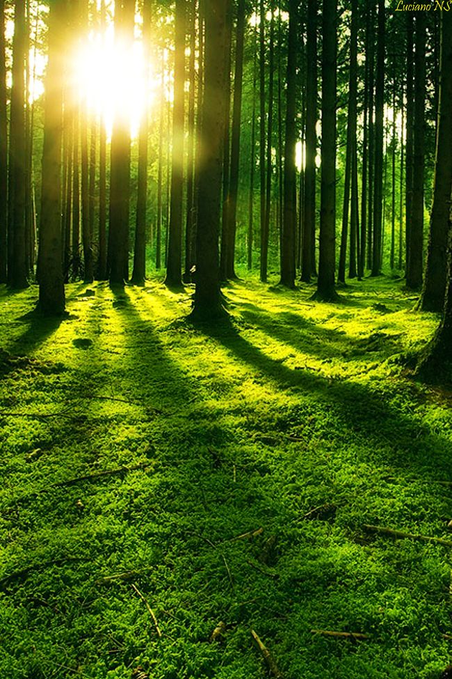 The morning sun reflects through the trees of California.
