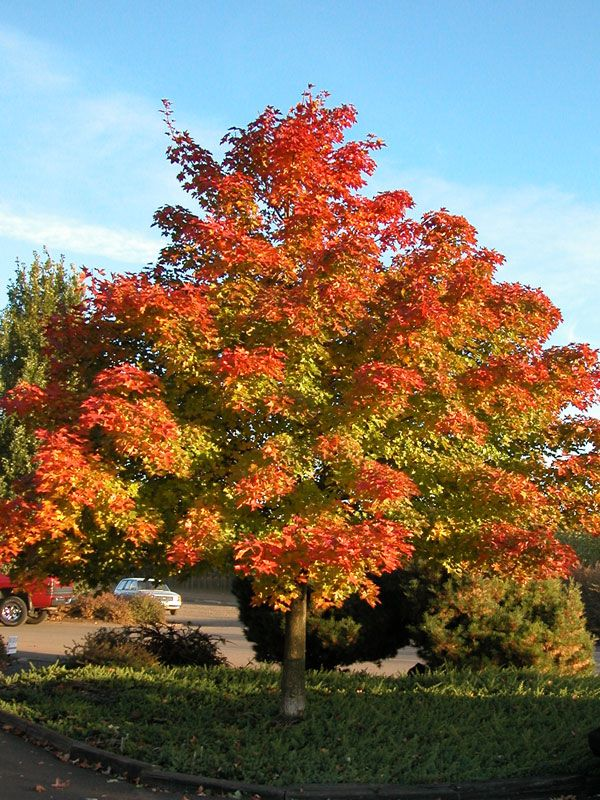 Pacific Sunset maple is an excellent medium sized tree that is very tolerant of urban conditions. This hybrid maple combines the best qualities of its parents Acer truncatum and Acer platanoides. It has very glossy dark green leaves that will develop a mixed fall color of yellows, oranges, and reds. This maple tolerates a wide range of soil conditions and would make a good street tree. It is also relatively pest free.  See more shade trees at http://www.victorygreens.com/trees-for-sale-boise