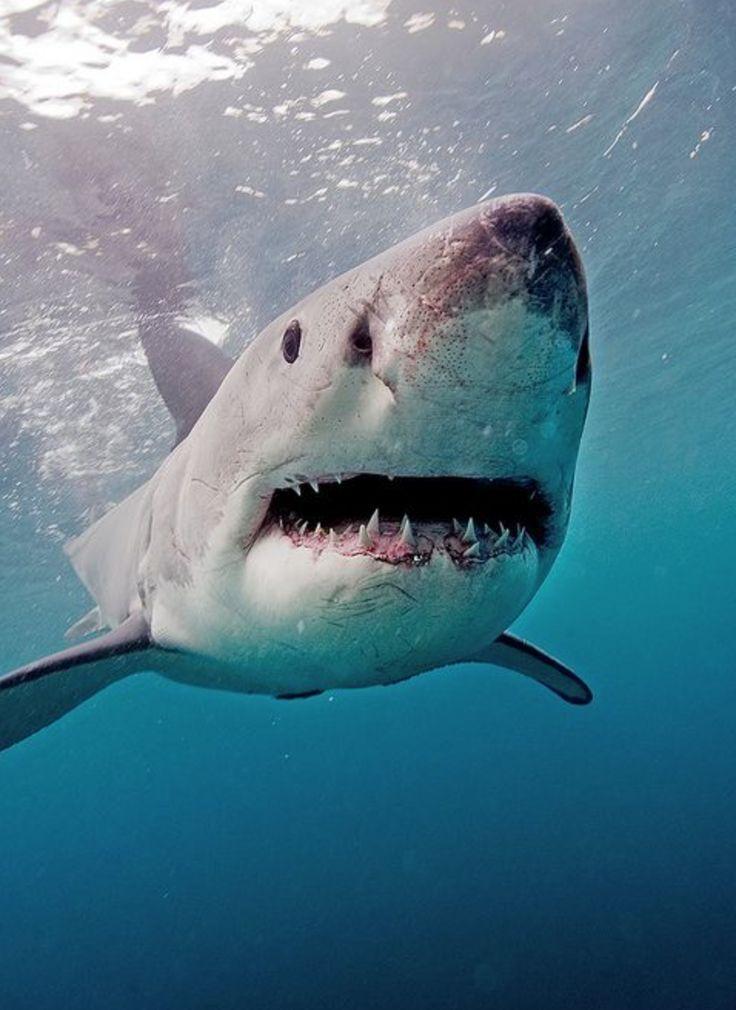 под лаги картинки про больших акул английский путешественник
