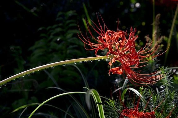 Striking reds take center stage in fall in the form of the Lycoris radiate or Hurricane Lilly. Photo by Eric Long, Courtesy the Smithsonian Gardens