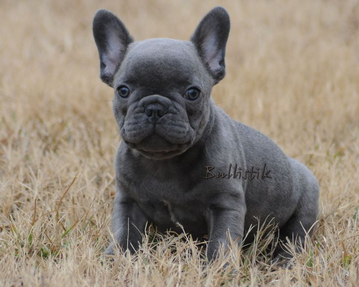 Blue French Bulldogs by Bullistik