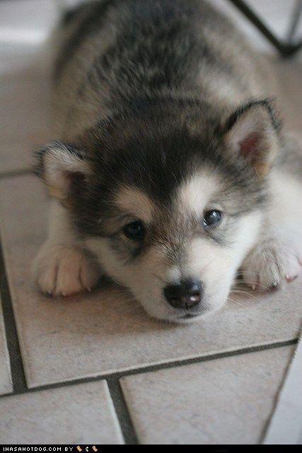 husky: