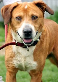 Meet URGENT- MALCOM IN GASSING SHELTER, a Petfinder adoptable Hound Dog | Downingtown, PA | 3142- Malcom four year old male hound retriever mix-he just makes me smile