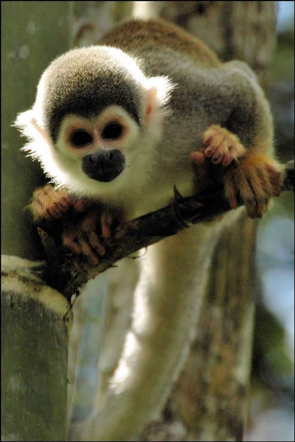 Squirrel monkey - Squirrel monkeys live in the tropical forests of Central and South America in the canopy layer. ..I want one!!!!