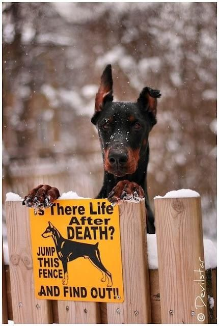 Go ahead make my day!: Funnies Pictures, Dogs Stuff, Dogs Signs, Dobermans Pinscher, I Dare You, Watches Dogs, Bewar Of Dogs, Big Dogs, Funnies Signs