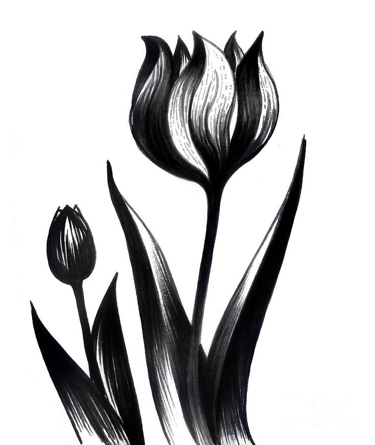 two tulips drawing by sofia metal queen blacktulip flowers art