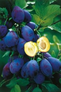 Damson Topper (self-fertile)  The latest plum variety