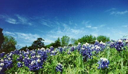 Texas Bluebonnets - Hope to see them this year.