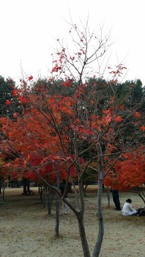 Beautiful trees during autumn in Nami Island