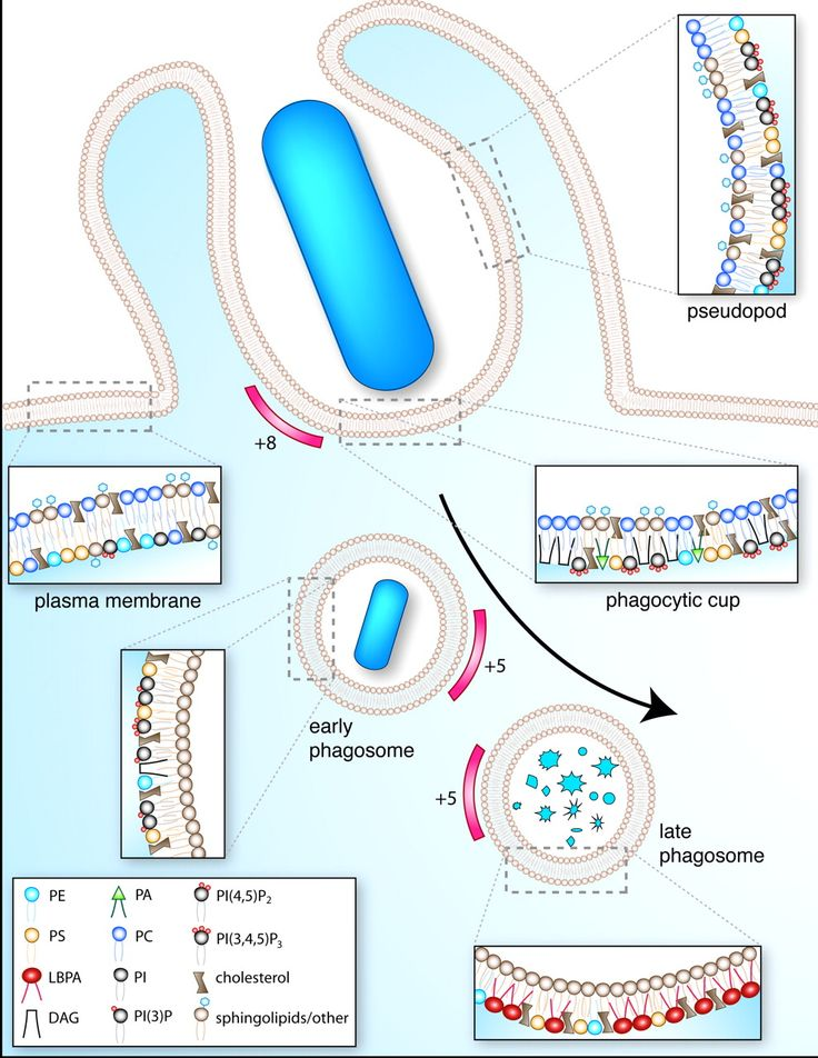 Imaging signal transduction during phagocytosis: phospholipids, surface charge, and electrostatic interactions | Cell Physiology