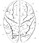 "View of brain from above. F, Frontal lobe; P, Parietal lobe; O, Occipital lobe; T, Temporal lobe; S, fissure of Sylvius; S', horizontal; S"", ascending ramus of the same; c, sulcus centralis (fissure of Rolando); A, ascending frontal convolutions; fr, superior, f2, inferior frontal sulcus; f3, precentral sulcus; P1, superior parietal lobule; P2, inferior parietal lobule consisting of P2, supramarginal gyrus, and P2', angular gyrus; ip, interparietal sulcus; cm, termination of callosomarginal…"