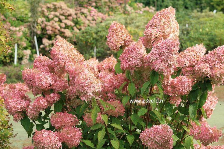 http://www.esveld.nl/plantdias/24/24256.jpg Hydrangea paniculata 'Phantom'