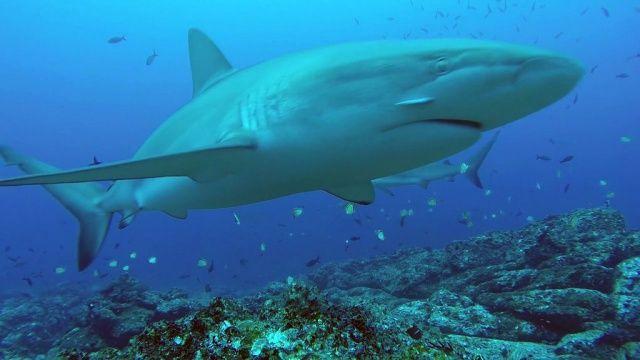 VIDÉO Full HD ✅ Que font les #requins quand on ne les regarde pas ? Images surprenantes, filmées à l'île #Cocos, au Costa Rica. Plus de #vidéos #sous-marines sur → www.Plongeurs.TV