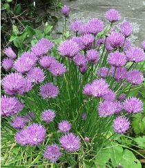 Allium schoenoprasum, Ciboulette (C)
