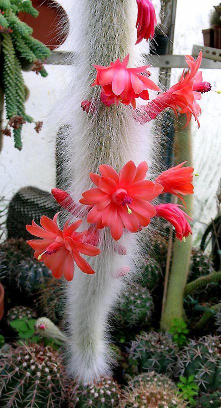 Un amigo me envía la foto de su maravilloso Cleistocactus winteri  colademono. Anteriormente me había enviado un esqueje con raíces. Espero...