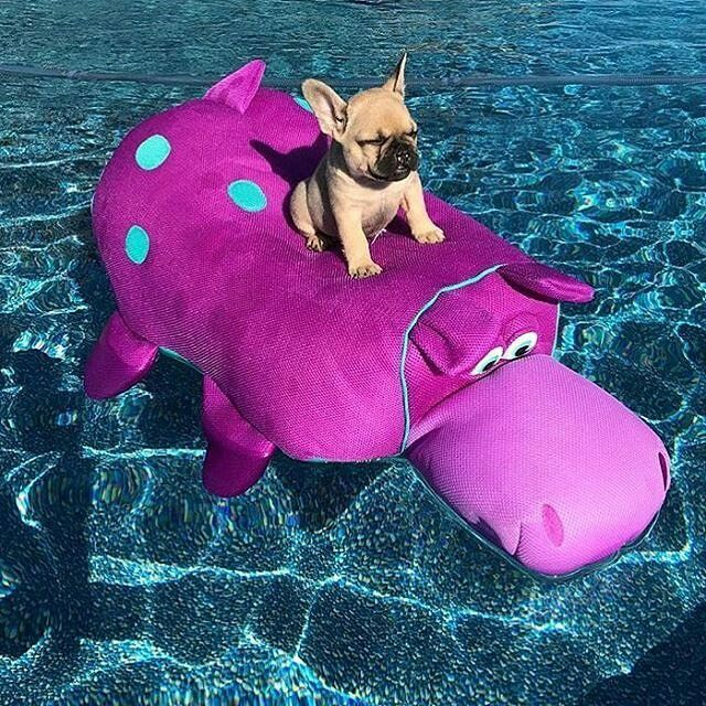 Just chillin in my pool! This is what I call French Bulldog Puppy paradise! ☀️ Do you love french bulldogs? GRAB YOUR OWN FRENCH BULLDOG TEE AND SHOW THE WORLD YOU LOVE FRENCHIE.