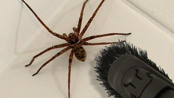 Big Spider Bathroom Daddy Screamer Arachnophobia Warning - YouTube