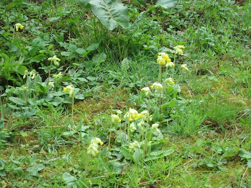 Cowslips..: Yellow Flowers, Pale Yellow
