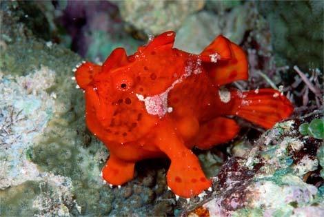 Frog fish saltwater pinterest for Angler fish for sale