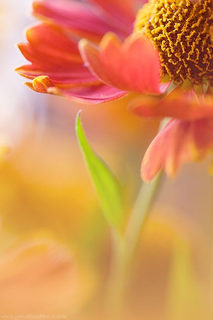 Glorious flower, bursting with color, and captured beautifully for us to see. Wow!