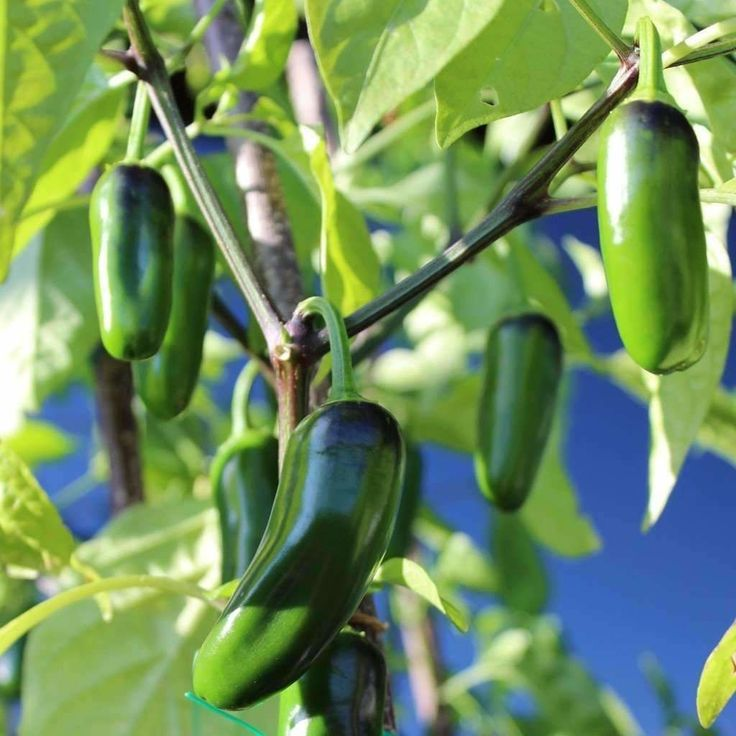 Seeds for Pepper (hot) 'Jalapeño M' - (Capsicum annuum) – Amkha Seed