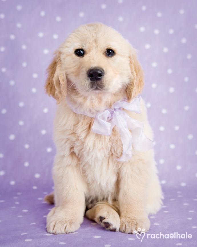 Teddy (Golden Retriever) - Gift wrapped all ready, is a particularly gorgeous Teddy