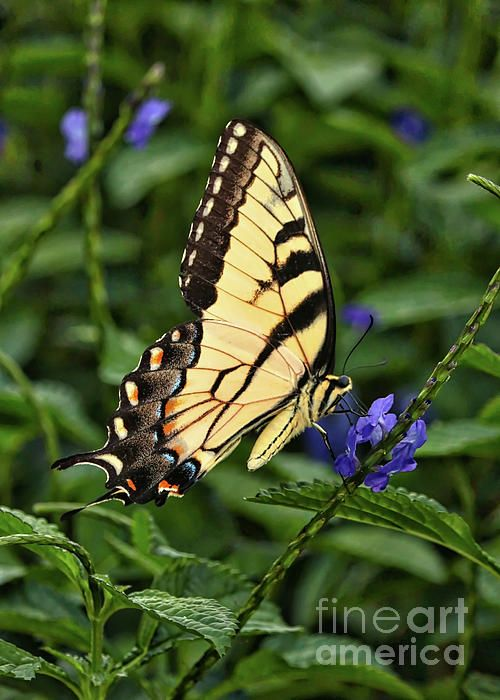 I planted this blue porterweed in my Florida garden to attract butterflies. It worked!    carol-groenen.pixels.com  #swallowtailphotos #swallowtailbutterflies #natureart #butterfly #butterflies #carolgroenennature