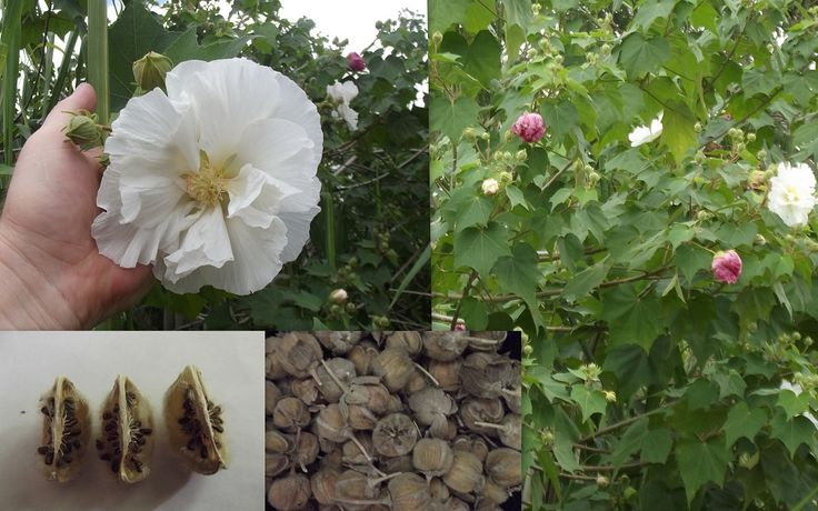 "Hibiscus Mutabilis Rose of Sharon Confederate Rose Seeds Packet of 150+ Seeds! Large shrub or tree with massive amounts of huge blooms. As the name ""mutabilis"" suggests, these fellas change color throughout the day. The flowers are a crisp pristine white in the morning, but throughout the day the flower brightens up and changes to […]"