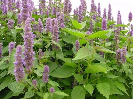 Korean Mint (hyssop)  - famous for soothing headaches, fighting nausea, calming the stomach and reducing nervousness and fatigue