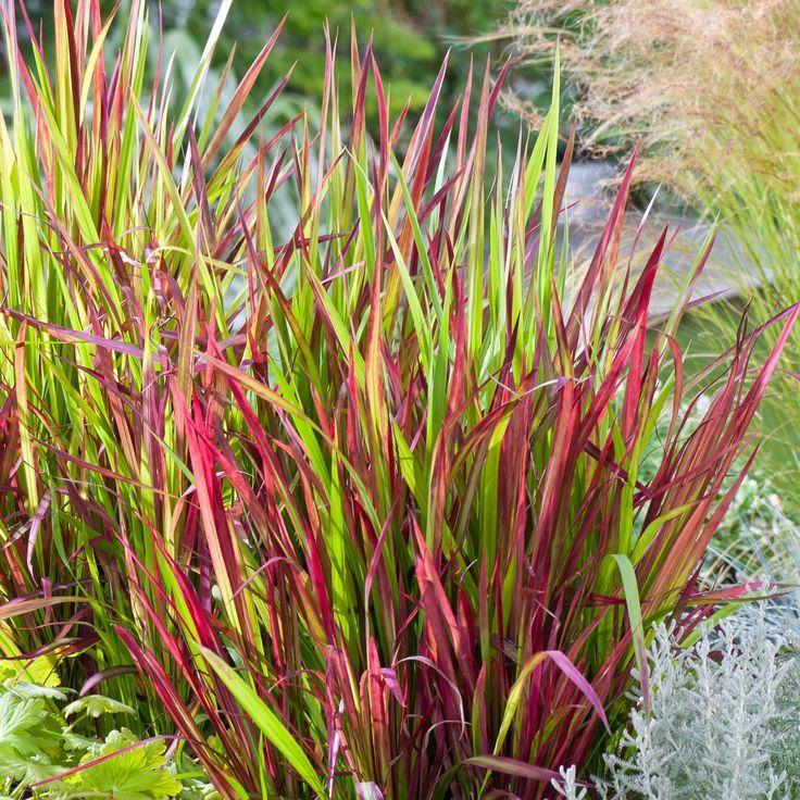 91 best Ornamental Grass images on Pinterest Garden ideas - carex bronze reflection