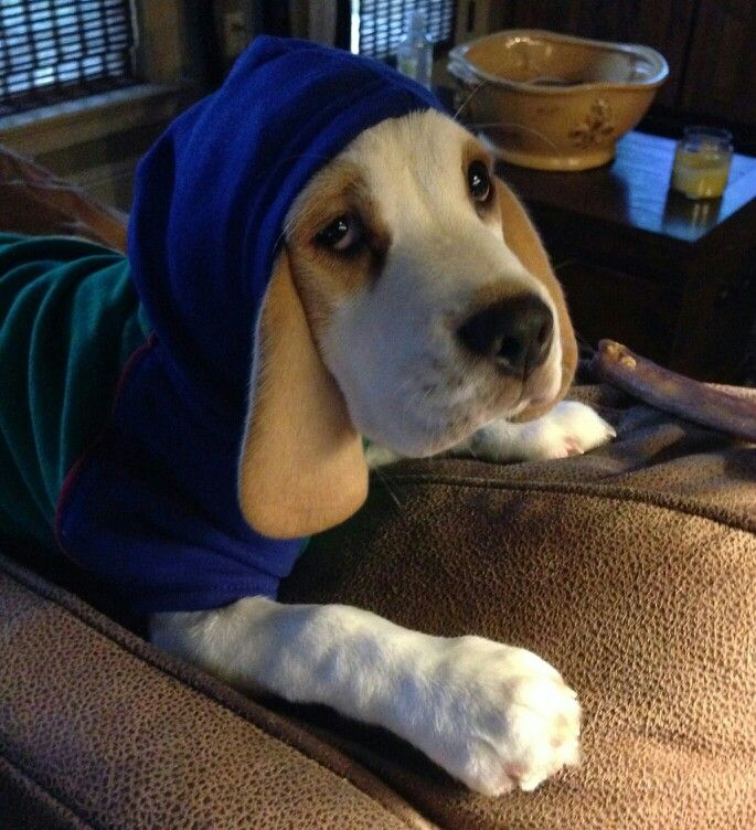 Louis Brody (Red and White Beagle)
